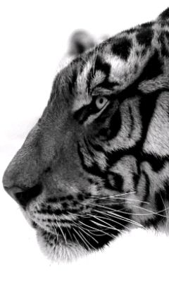 chat-tigre — Wiktionnaire